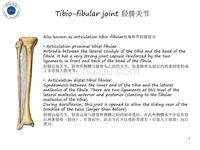 Tibio-fibular_joint脛腓關節-整骨培訓課件(02)